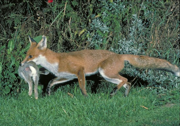 This fox isn't evil. It's just doing what it needs to do.